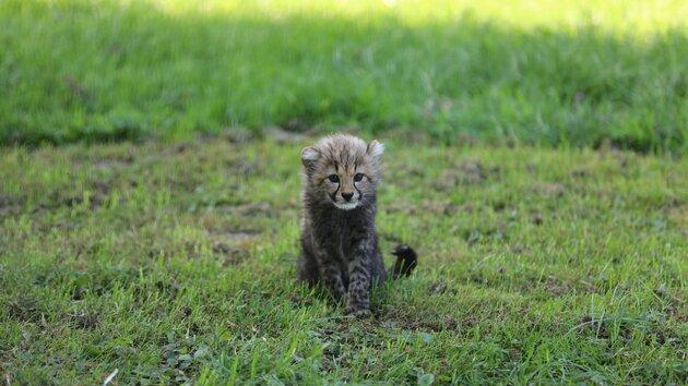 Cheetah Niara